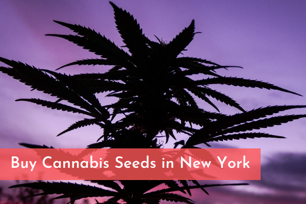 Buy Cannabis Seeds in New York